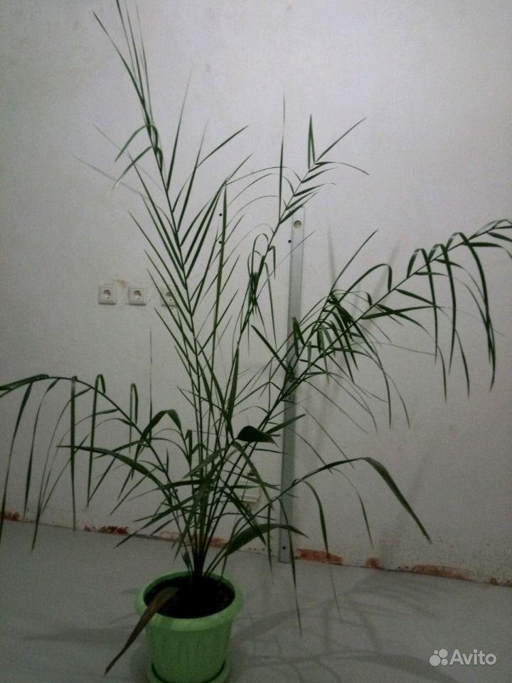 Пальма королевского финика. Иркутская область,  Иркутск