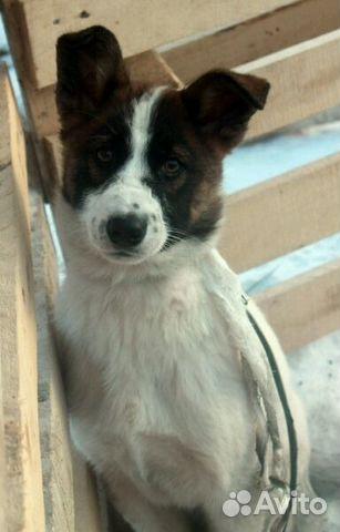 Купить щенка хаски в москве, не дорого, в питомнике марэнн старс ркф щенки сибирских показать телефон