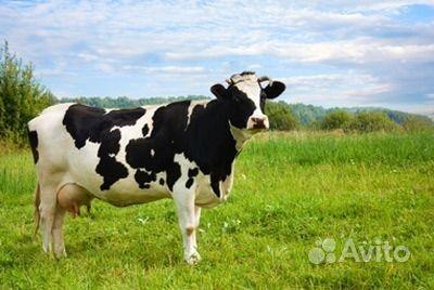 отёл коров фото