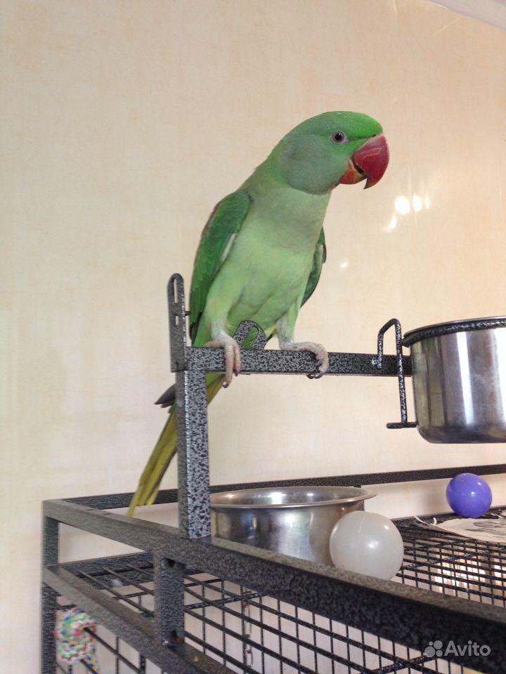 Большой Александрийский попугай