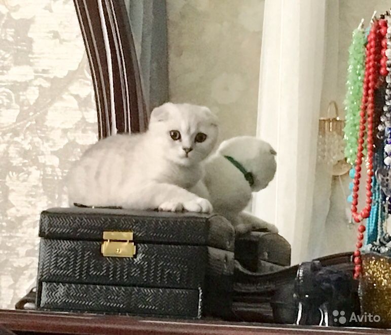 Продается Кошка - фотография № 7