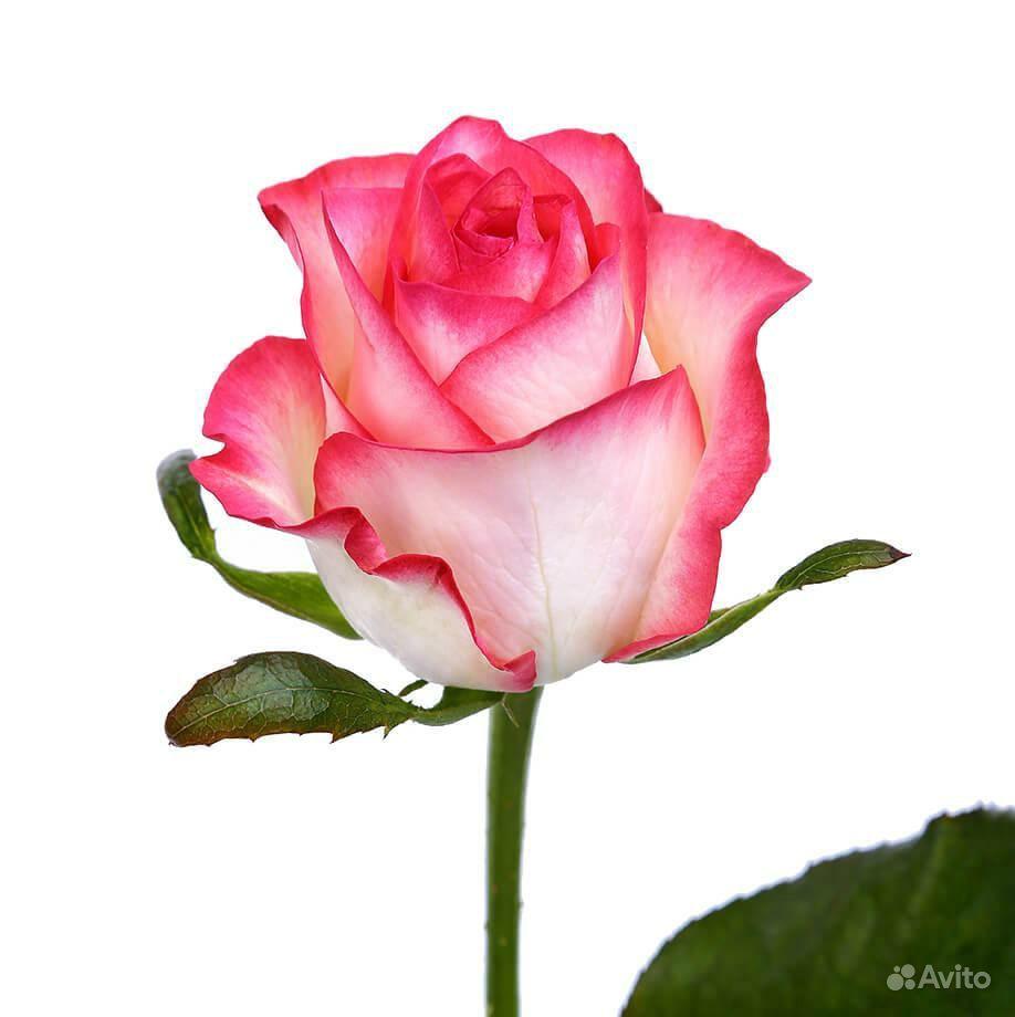 Роза местная Джумилия купить на Зозу.ру - фотография № 4