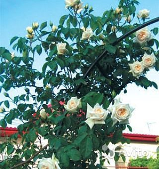 Саженцы роз купить на Зозу.ру - фотография № 4