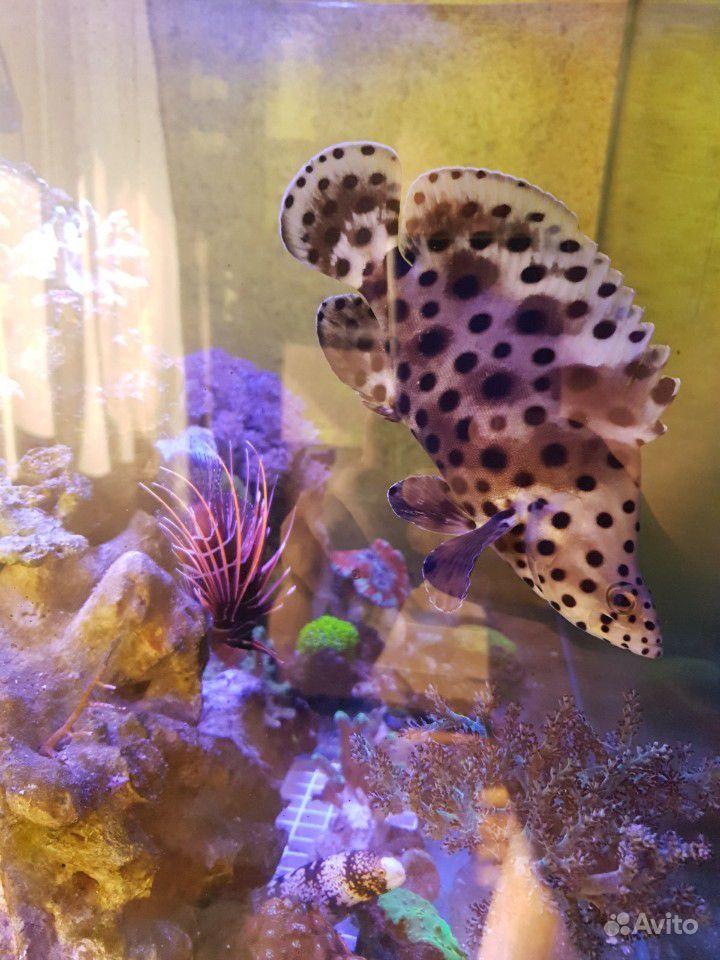Групер леопардовый купить на Зозу.ру - фотография № 1