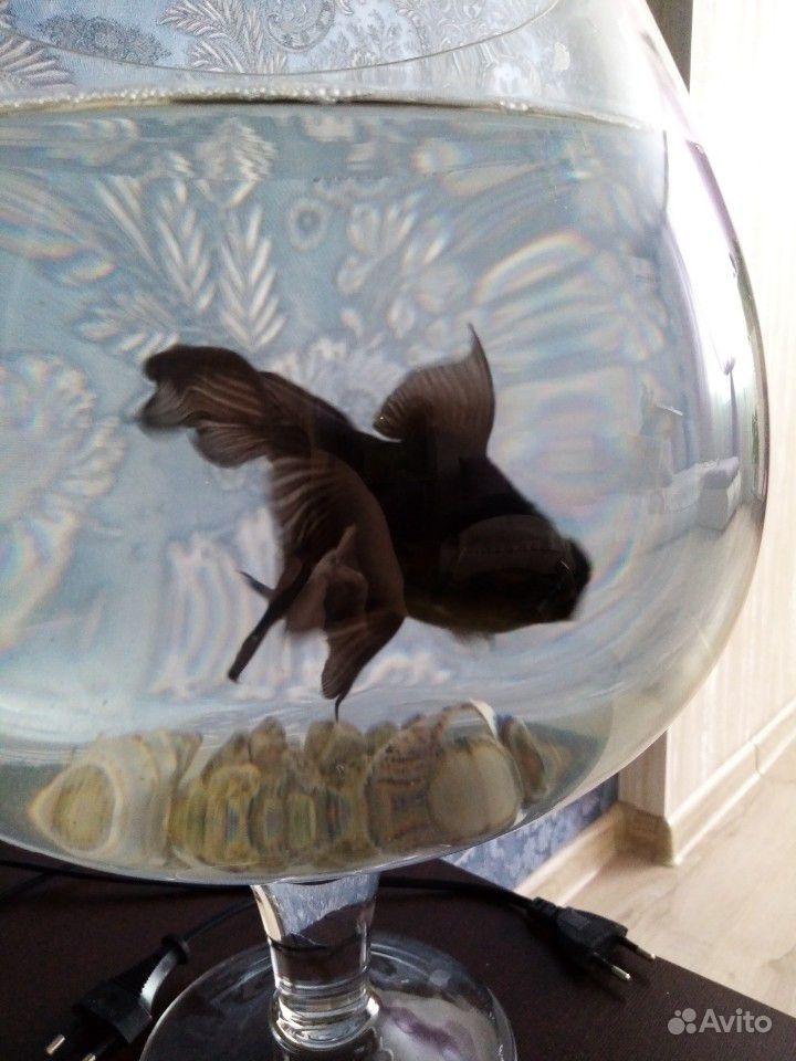 Аквариум рюмка с золотой рыбкой (телескоп) купить на Зозу.ру - фотография № 7