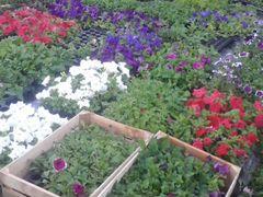 Многолетние цветы купить в мичуринске цветоводы москвы заказ растеий