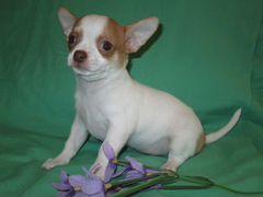 Объявление продам собачку на сайте slando чихуахуа 6000 руб объявления куплю османтус пестролистный