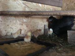 Наседки с цыплятами