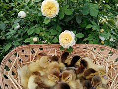Индо утки разные расцветки