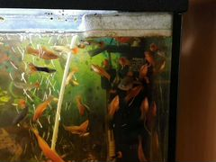 Рыбки меченосцы и гуппи