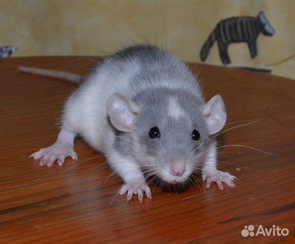 вам картинки крыс хаски относится изменению аватара