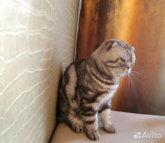 Приглашает кошек на вязку