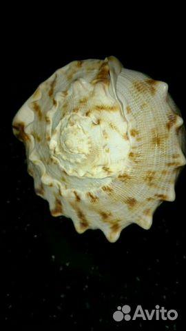 Раковина Cassis Cornuta в вашу коллекцию 89529537352 купить 7