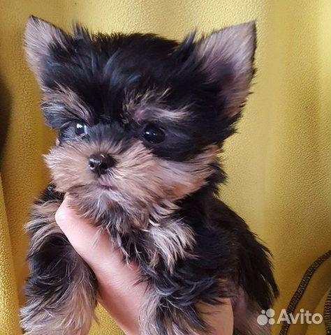 Милые щеночки купить на Зозу.ру - фотография № 2