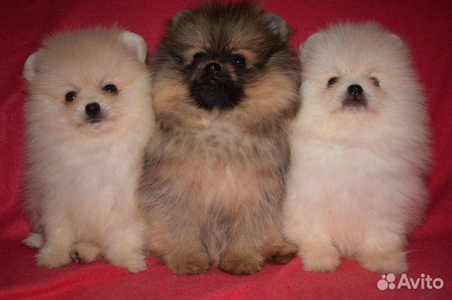 Очень красивые щенки померанского шпица купить на Зозу.ру - фотография № 1