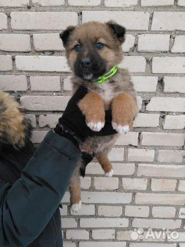 Щенок (девочка. 1,5 месяца) в дар, в добрые руки купить на Зозу.ру - фотография № 1