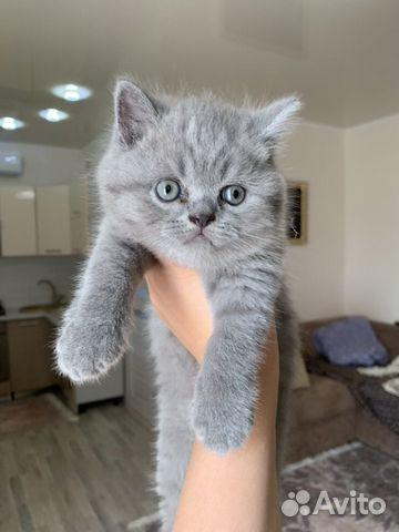 Продам шотландских котят 89787428602 купить 2