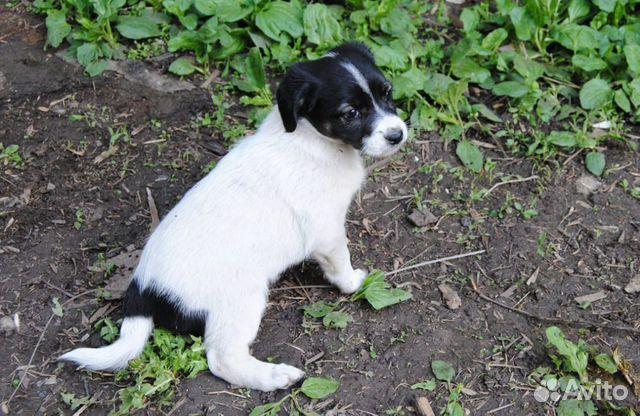 Собака  89191405223 купить 3