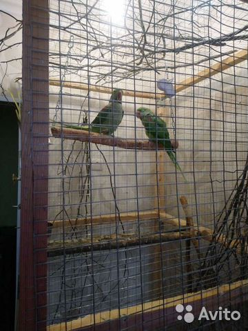 Александрийский попугай пара  89841477915 купить 5