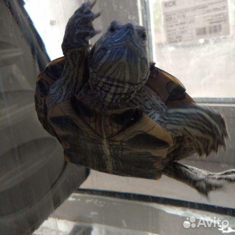 Черепаха красноухая (водная)  89195724647 купить 1