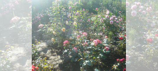 Розы корнесобственные