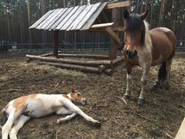 Продаются лошади
