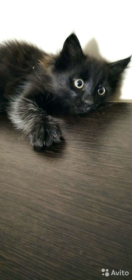 Кошка  89029455536 купить 3