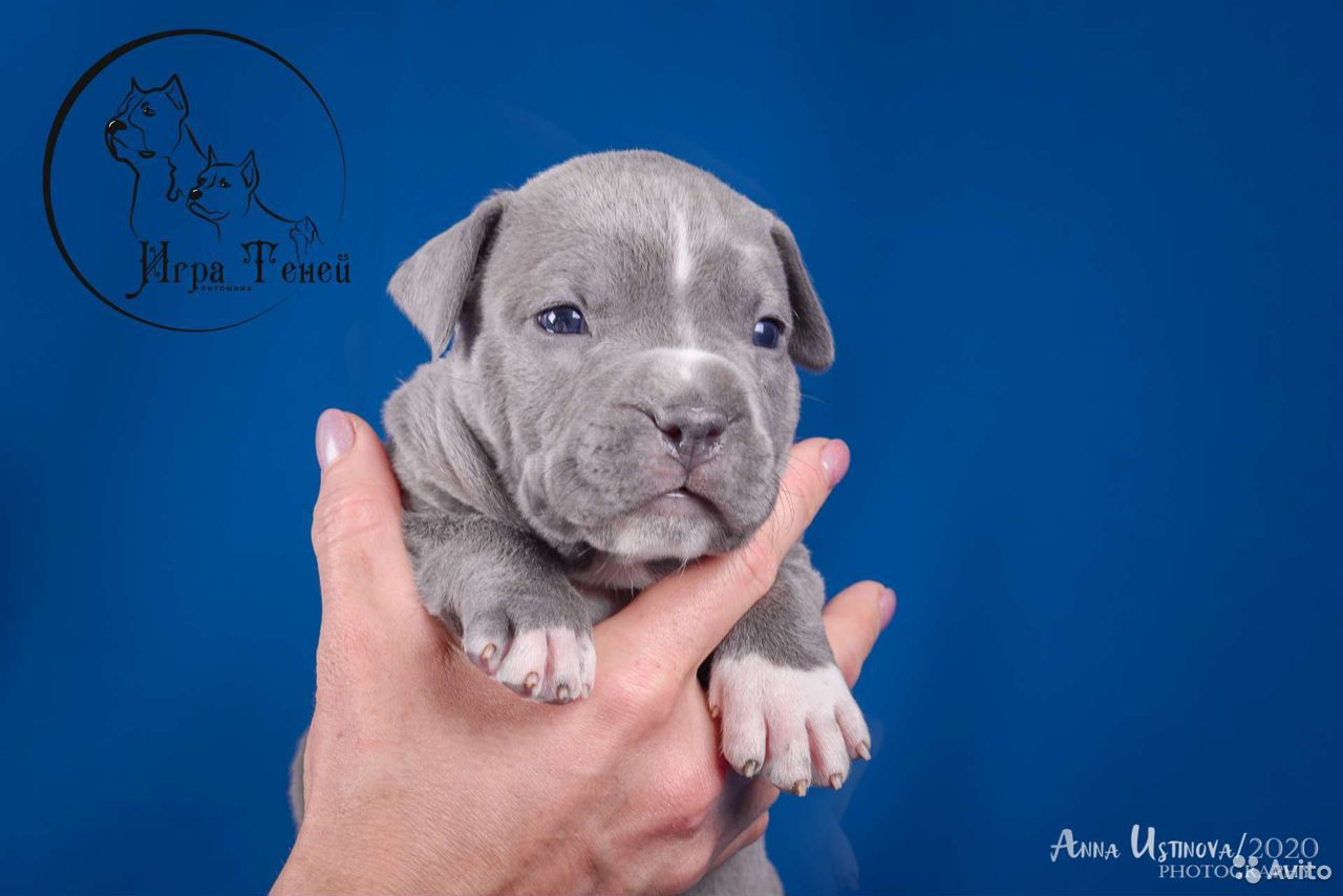 Puppies amstaff  89209620961 buy 5