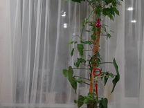 Гибискус красный махровый 2.5 м