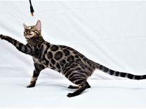 Питомник бенгальских кошек GoldyCat