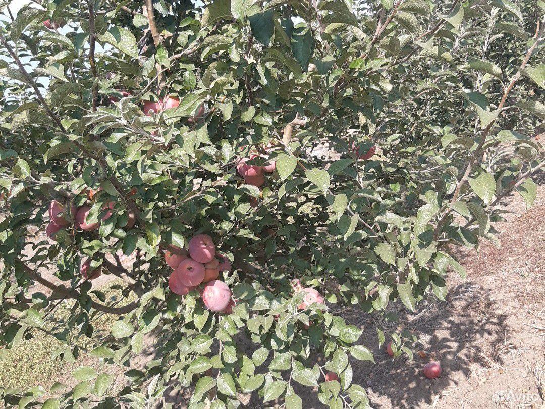 Яблоки  89640360900 купить 3