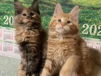 Яркие красотки Мейн кун 2,5 м. Бони и Бьенса