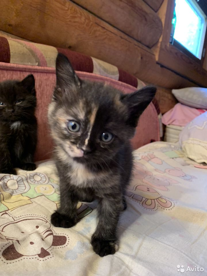 Котята  89125264651 купить 1