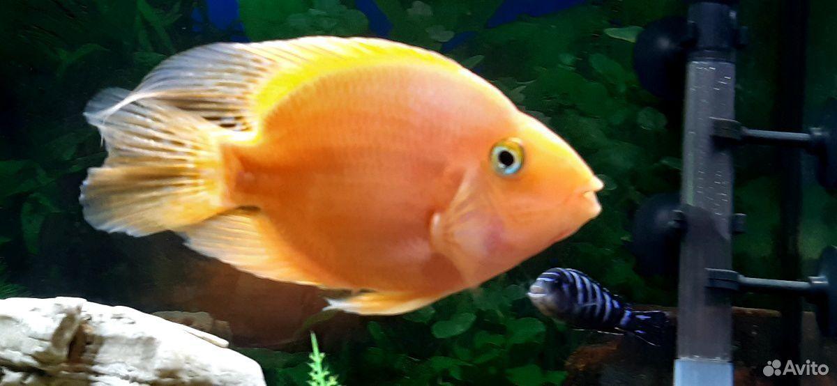 Рыба попугай  89241065400 купить 5