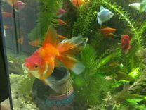 Роскошная золотая рыбка