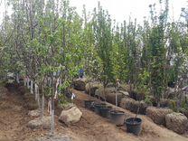 Плодовые деревья 2-х летки