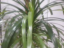 Панданус (винтовая пальма) детки-розетки — Растения в Рязани