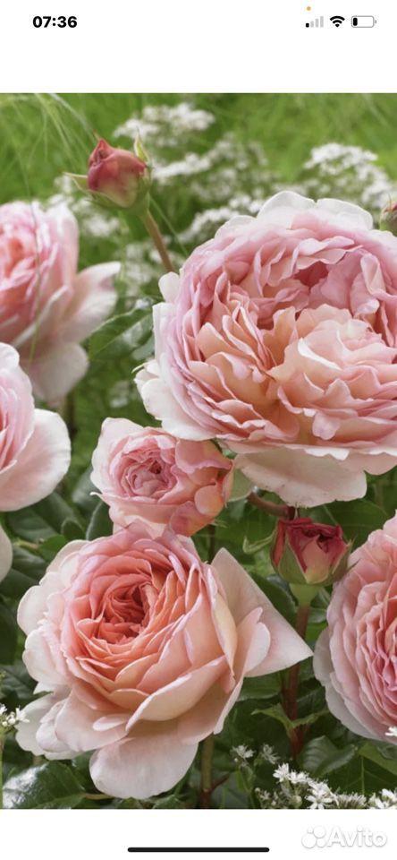 Роза  89023130587 купить 4
