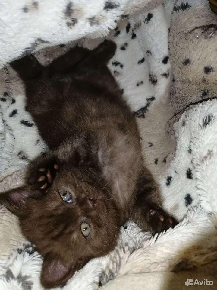 Шотландские котята  89525321477 купить 2