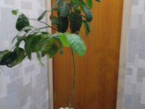 Драцена, Мандариновое, Живое (Денежное) дерево