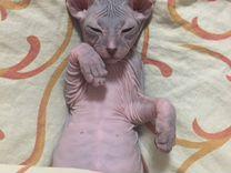 Продаем очаровательного котенка донского сфинска